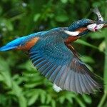Colourful bird flying with a fish
